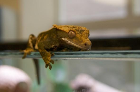 geckos-2