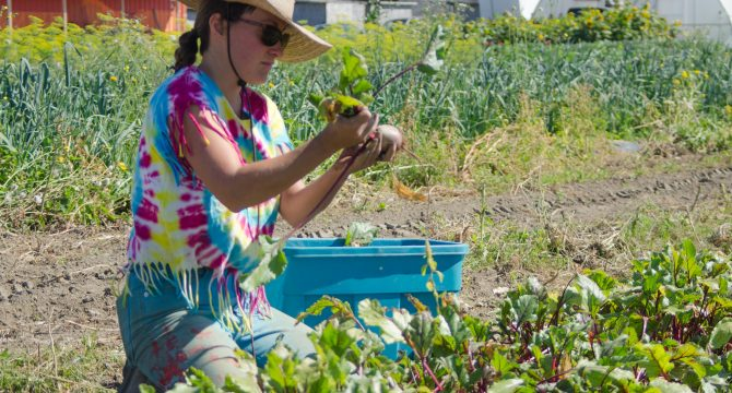 A student harvests beets at KPU's Tsawwassen First Nation Farming School in Delta, Aug. 25, 2016. (Tommy Nguyen)